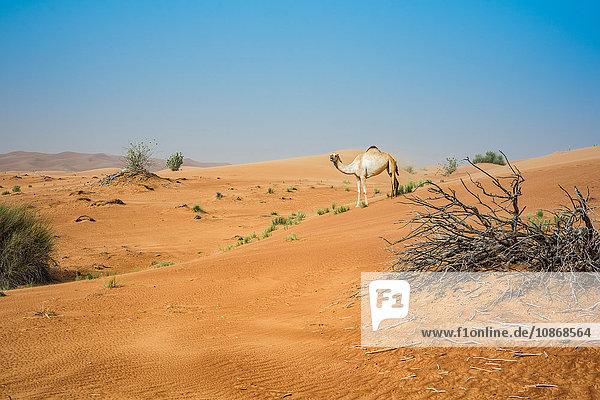 Einzelnes Kamel in der Wüste  Dubai  Vereinigte Arabische Emirate