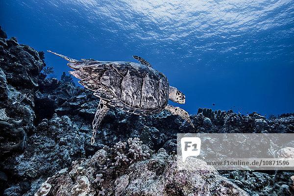 Karettschildkröte schwimmt über Korallen  Cozumel
