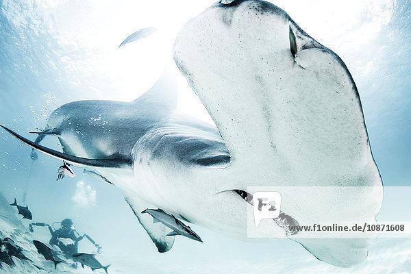 Großer Hammerhai  Taucher im Hintergrund