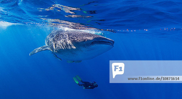 Whale Shark with diver swimming underneath