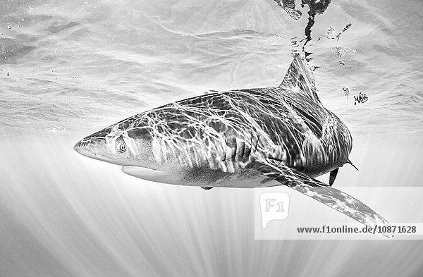 Weißspitzen-Hochseehai  der nahe der Meeresoberfläche schwimmt