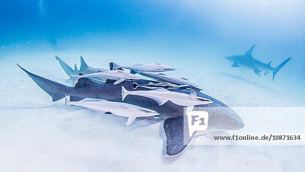 Ammenhai mit Remoras bedeckt mit dem Grossen Hammerhai im Hintergrund