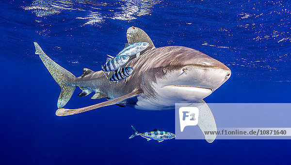 Oceanic Whitetip Shark with pilot fish around it