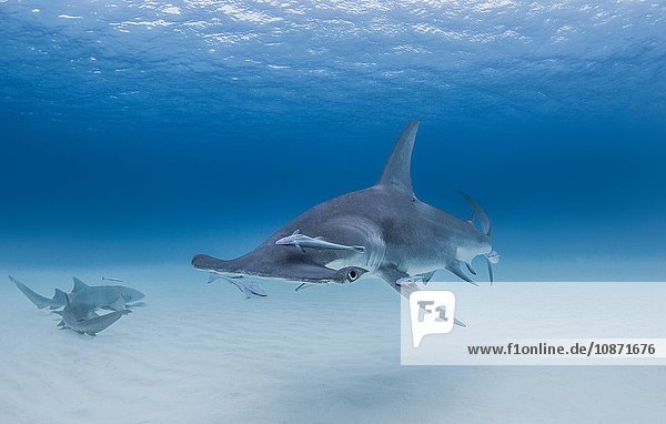 Grosser Hammerhai mit Ammenhaien in der Nähe