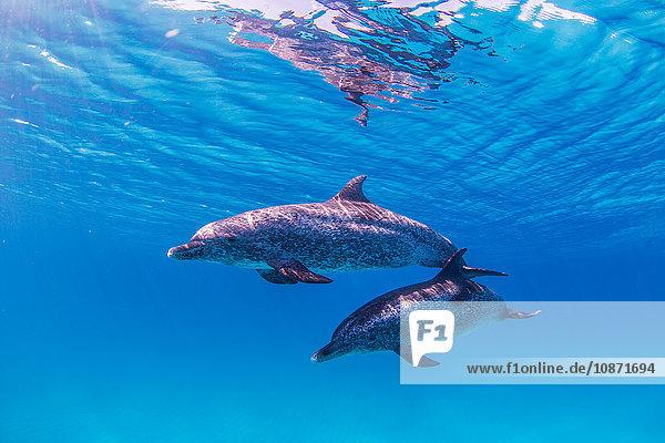 Atlantische Fleckendelphine schwimmen nahe der Meeresoberfläche