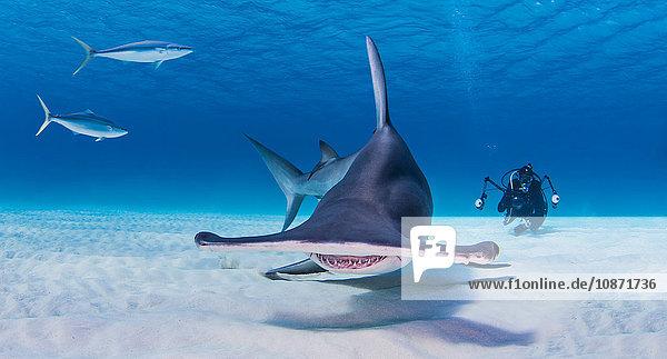 Taucher beim Fotografieren des Grossen Hammerhais