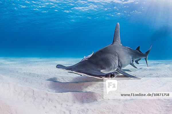 Großer Hammerhai schwimmt in der Nähe des Meeresbodens