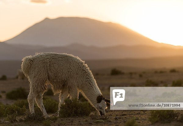 Llama grazing  Villa Alota  Southern Altiplano  Bolivia  South America