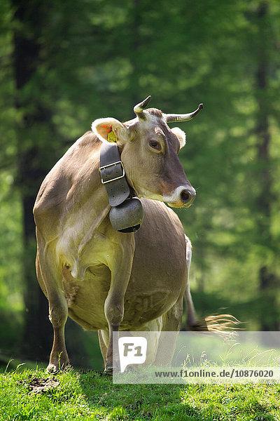 Kühe mit Kuhglocken  die seitwärts blicken  Schweizer Alpen  Schweiz