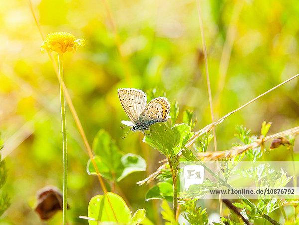 Nahaufnahme eines gemeinen blauen Schmetterlings auf einem Blatt