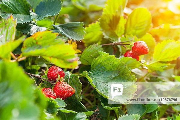Reife Erdbeeren und Erdbeerpflanze im Garten