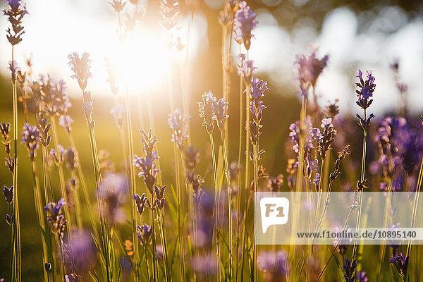 Schweden  Bohuslan  Nahaufnahme von Lavendel in Blüte bei Sonnenuntergang