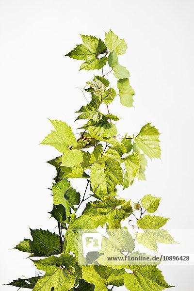 Kriechpflanze gegen Weiß
