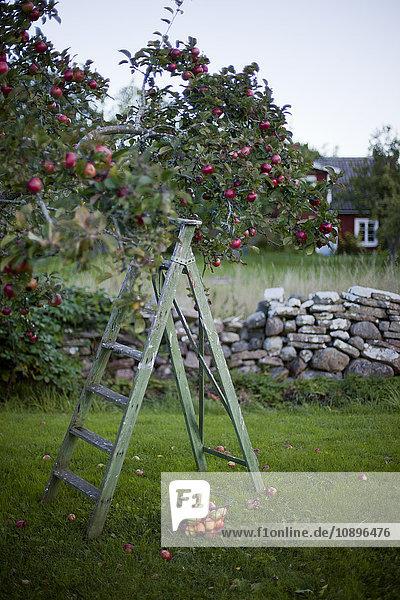 Schweden  Oland  Alvaret  Leiter unter Apfelbaum Schweden, Oland, Alvaret, Leiter unter Apfelbaum