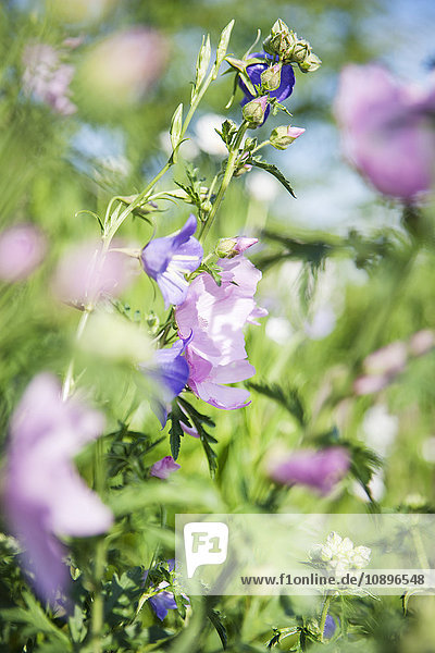 Schweden  Skane  Nahaufnahme von rosa und violetten Blumen