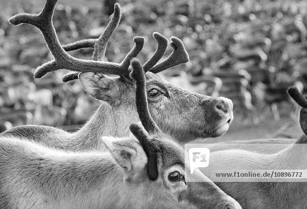 Schweden  Lappland  Levas  Nahaufnahme der Rentierherde (Rangifer tarandus)