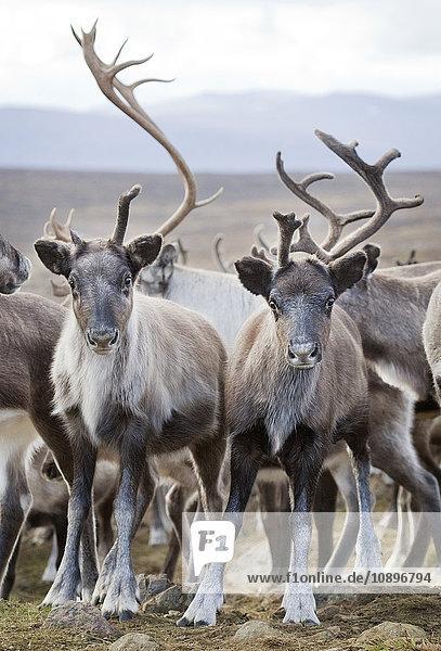 Schweden  Lappland  Levas  Rentierherde (Rangifer tarandus) in freier Wildbahn