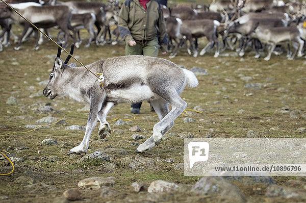 Schweden  Lappland  Levas  Rentiere (Rangifer tarandus) in freier Wildbahn