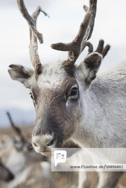 Schweden  Lappland  Levas  Rentierporträt (Rangifer tarandus) in freier Wildbahn