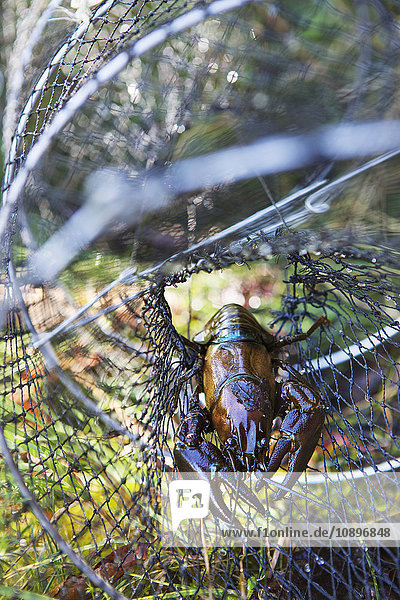 Schweden  Krebse im Fischernetz gefangen