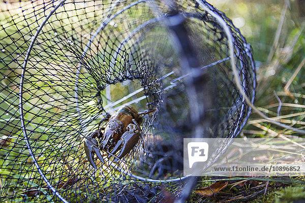 Schweden  Flusskrebse gefangen im Fischernetz auf Gras