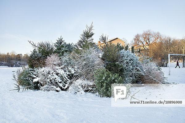 Schweden  Sodermanland  Johanneshov  Nytorps Garde  Haufen alter Weihnachtsbäume