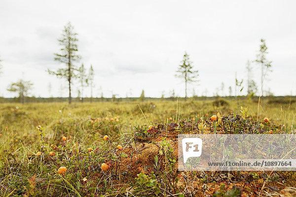 Schweden  Harjedalen  Ytterberg  Moltebeeren auf der Wiese