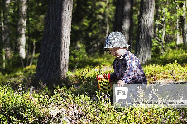Schweden  Harjedalen  Ytterberg  Boy (2-3) beim Heidelbeerpflücken