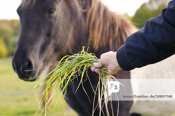 Schweden  Bohuslan  Tjorn  Mann füttert Pferd mit Gras