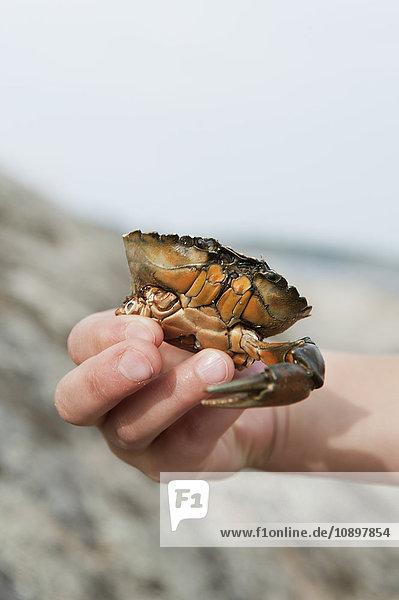 Schweden  Halland  Onsala  Mädchen (6-7) hält Krabbe in der Hand