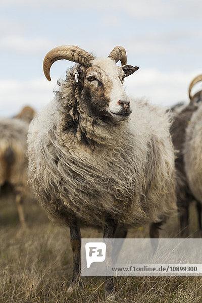 Schweden  Gotland  Frontansicht der Schafe auf der Wiese Schweden, Gotland, Frontansicht der Schafe auf der Wiese