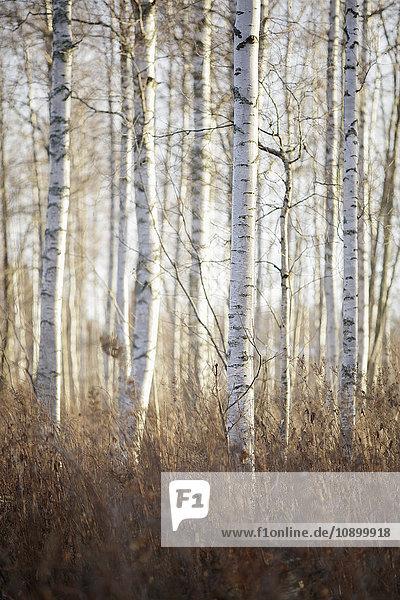 Schweden  Dalarna  Birken im Herbstwald