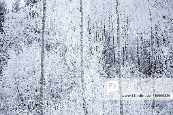 Sweden  Varmland  Sunne  White trees in forest in winter