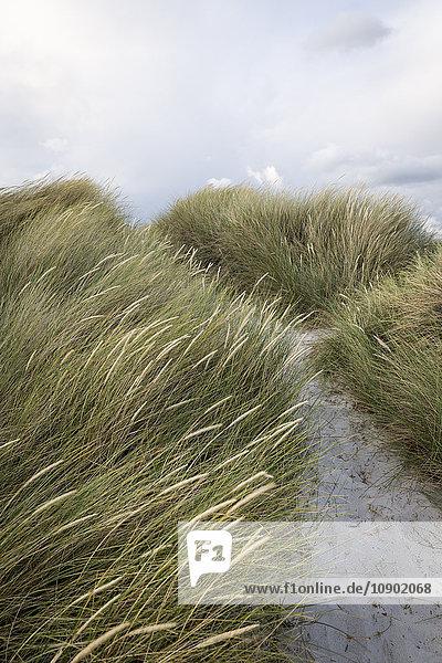 Schweden  Skane  Skanor  Nahaufnahme von Gras am Sandstrand