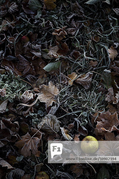Schweden  Grüner Apfel auf Herbstblättern Schweden, Grüner Apfel auf Herbstblättern