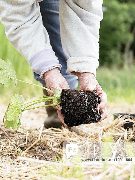 Seniorin beim Pflanzen von Zucchini im Gemüsegarten Seniorin beim Pflanzen von Zucchini im Gemüsegarten
