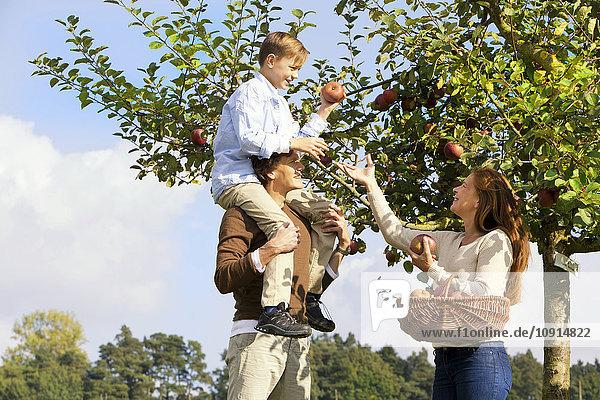 Familie pflückt Äpfel vom Baum