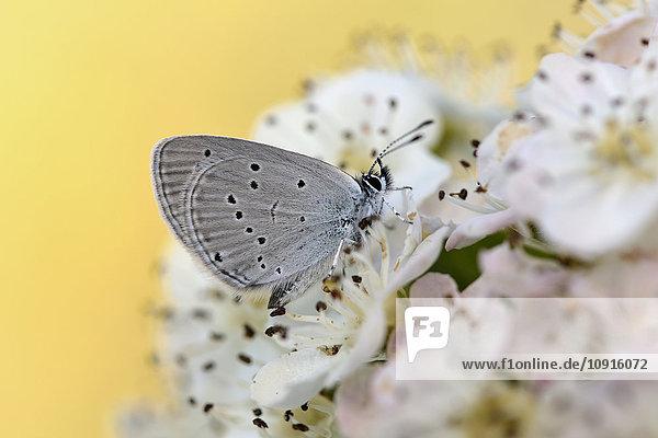 Kleines Blau auf Blüte