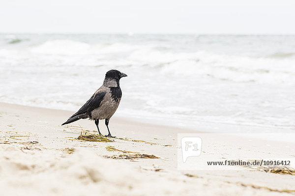 Hoodiecrow stehend am Strand