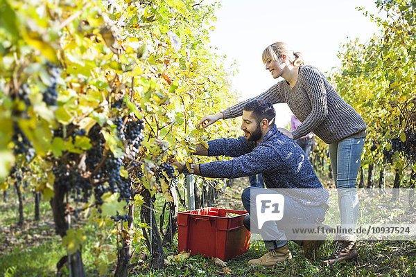 Couple harvesting grapes together in vineyard