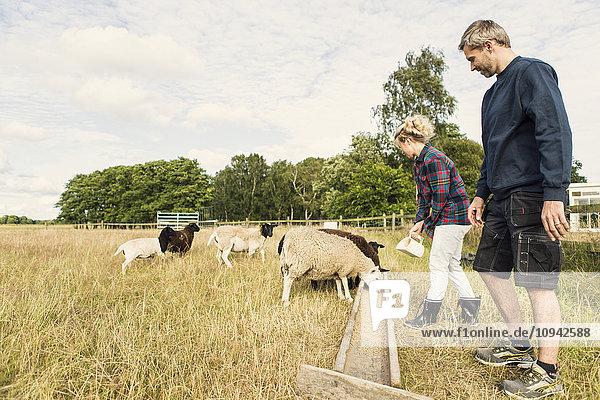 Female farmer feeding sheep while standing besides man at farm