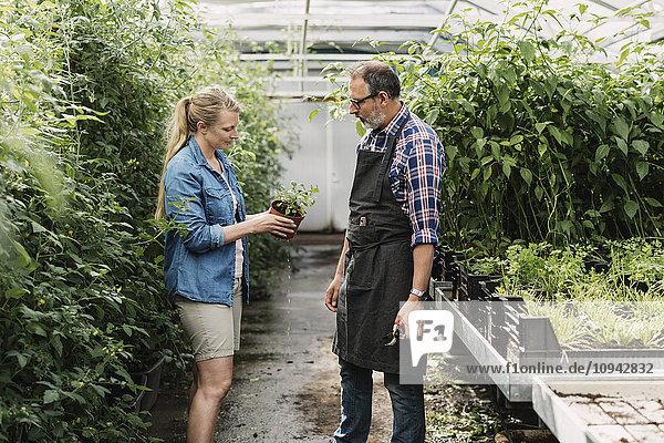 Gärtner betrachten Topfpflanze im Gewächshaus
