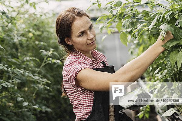 Gärtner mit digitaler Tablette bei der Untersuchung von Pflanzenblättern im Gewächshaus