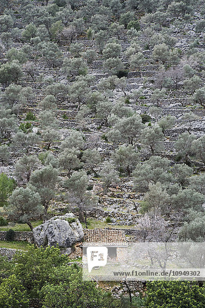 Stone house surrounded by olive trees
