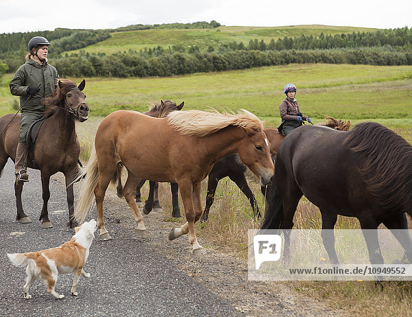 Women riding Icelandic horses