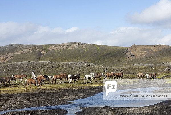 Woman horseback riding  herd of Icelandic horses in background