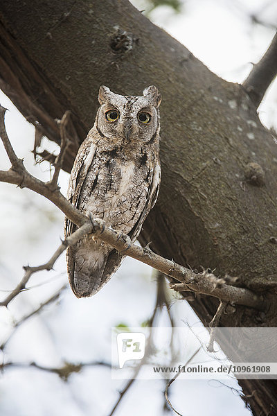 'African Scops Owl (Otus senegalensis) stares intently while sitting on tree branch in Tarangire National Park; Tanzania'