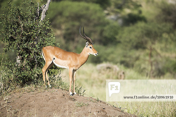 'Male Impala (Aepyceros melampus) standing on termite mound  Tarangire National Park; Tanzania'
