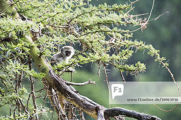 'Baby Vervet Monkey (Cercopithecus aethiops) sitting in thorny acacia tree  Ngorongoro Crater; Tanzania'