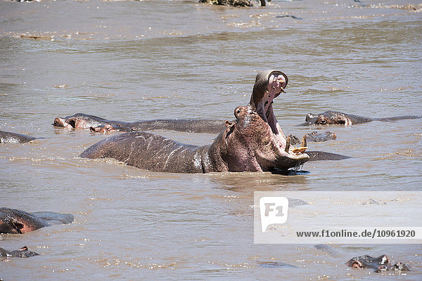 'Large male Hippopotamos surrounded by females roars with open mouth  showing off huge tusks in Serengeti National Park; Tanzania'
